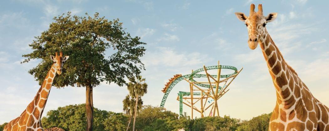 Busch Gardens Tampa giraffe