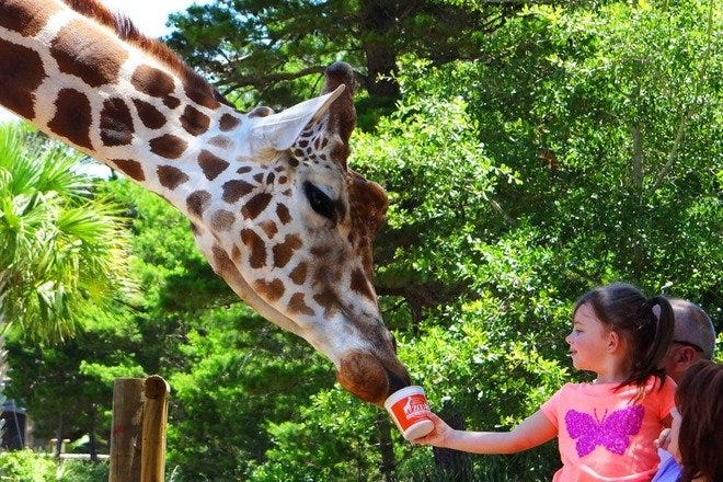 Giraffe and child at Gulf Breeze Zoo in Florida
